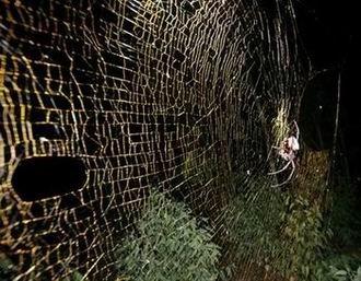 能编织最大蜘蛛网的新物种蜘蛛图片