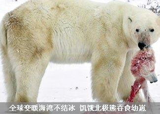 饥饿北极熊吞食幼崽