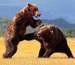 两头棕熊恶斗15分钟