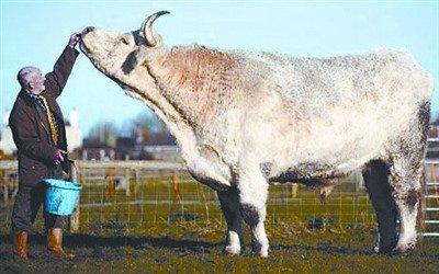 英国发现世界上最大的公牛 体重超1.6吨(图)