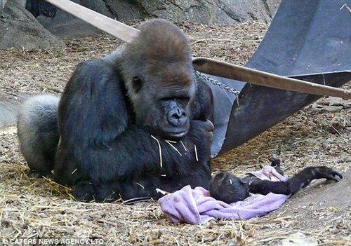 动物园小猩猩摆出沉思模样 双手抱头仰望天空