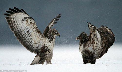 秃鹰展开激烈掠食大战 动作精彩酷似功夫大片