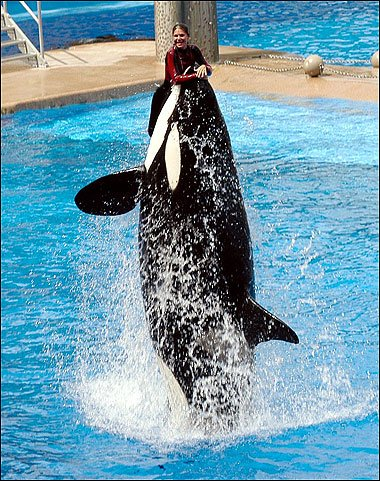 美海洋世界女驯兽师遭杀人鲸狂甩 当众死亡