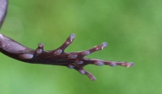 刚毛蛙具备金刚狼特异功能 皮肤冒出锋利爪子