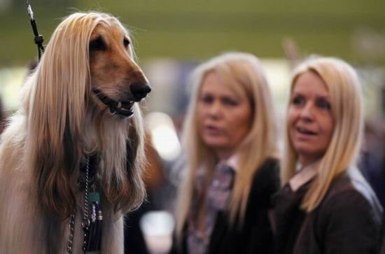阿富汗猎犬可能向人类传播致命疾病