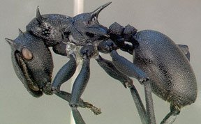 跳伞蚂蚁:用臀部控制滑翔方向