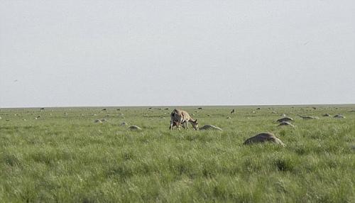 震撼:哈萨克斯坦15万高鼻羚羊3天内集体死亡