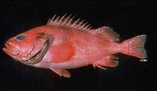阿拉斯加发现200岁石斑鱼!17公斤104厘米