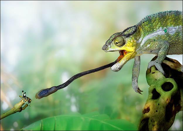 变色龙靠高黏性唾液捕捉猎物 在捕猎中发挥重要作用