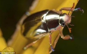 摄影师拍到罕见银色甲虫 通体光彩夺目