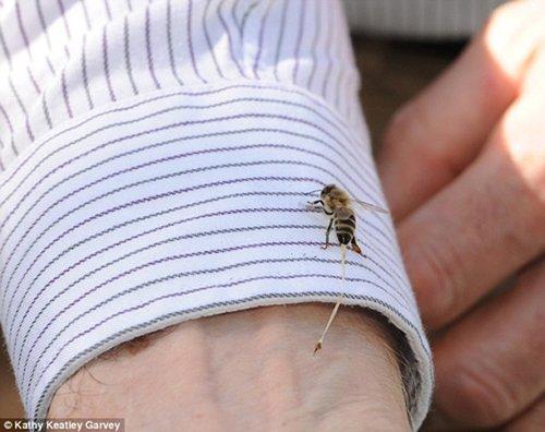 死亡的代价:蜜蜂蛰人过程特写抓拍(图)