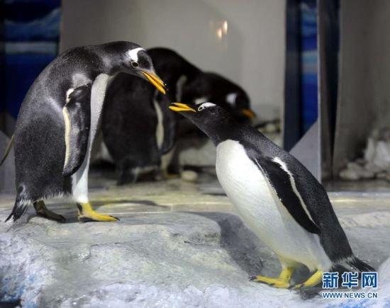 """南极企鹅上演""""求婚行动"""" 举止亲密堪比人类"""
