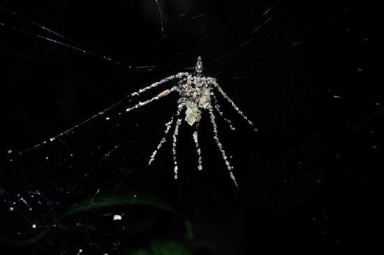 """亚马逊发现能""""编织替身""""的神奇蜘蛛物种"""