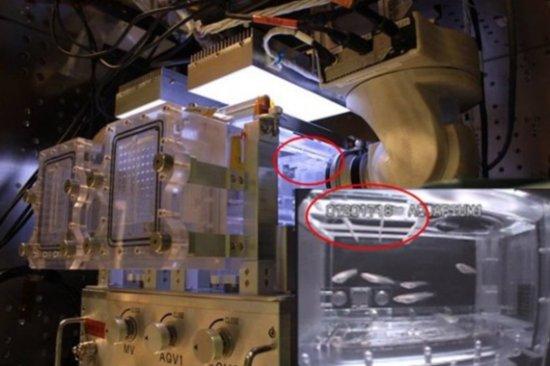 太空宠物鱼:日本发送青鳉水族箱抵达空间站