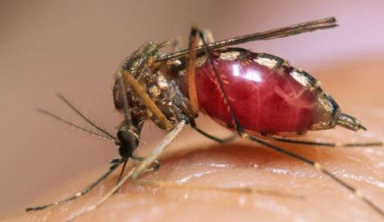 罕见的蚊子吸血视频!显微拍摄调查疟疾传播