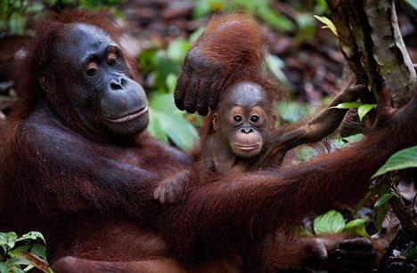 """猿类与人类一样拥有""""文化"""" 老猩猩传授后代"""