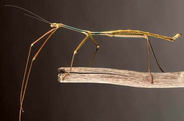 中国发现世界最长竹节虫:长62.4厘米