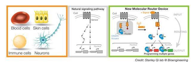 华人科学家制造分子路由器助力细胞制造