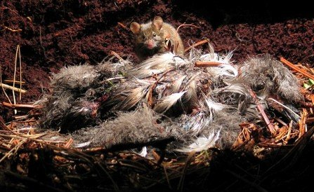 """英海岛发现恐怖""""杀手老鼠"""" 嗜好吞食海鸟"""