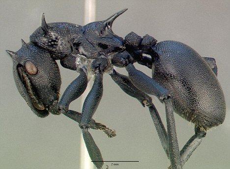 科学家发现跳伞蚂蚁:用臀部控制滑翔方向