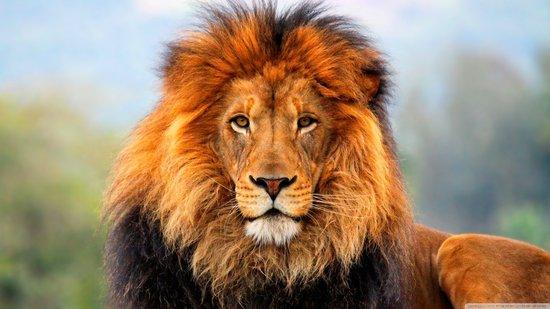 最新研究称40年内非洲狮群数量可能减半