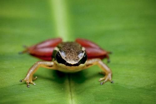 科学家最新发现3种两栖新物种:红宝石眼蟾蜍