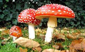 最奇特10种蘑菇:伞形毒菌