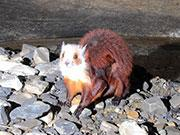 贵州地洞现神秘物种飞猫:浑身红色半米长