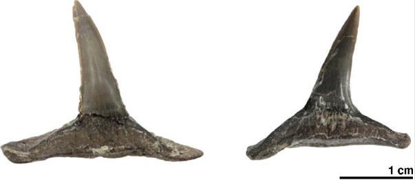日本北海道惊现完整恐龙时代鲨鱼牙齿化石