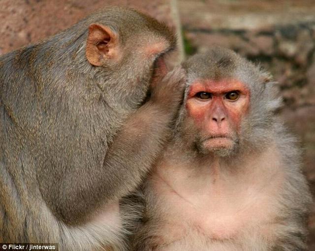 """猴子有""""说话能力""""但缺乏智力进行语言交流"""