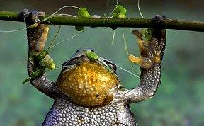 """可爱青蛙跃出水面做""""引体向上"""""""