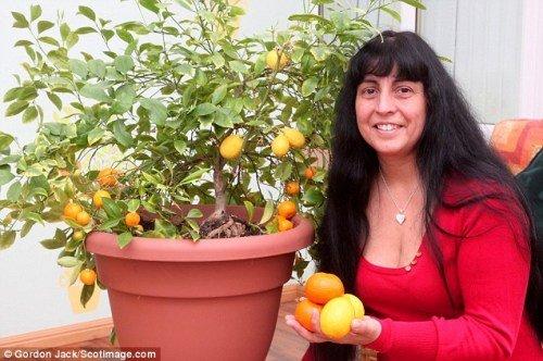 英橘树意外结出4枚柠檬 引园艺专家参观(图)