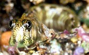 太平洋陆生鱼:上岸进行社交与求爱