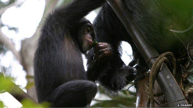 科学家发现黑猩猩和人类一样也有酒鬼潜质