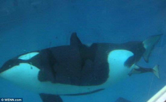 美国最新视频记录逆戟鲸诞生幼仔的全过程