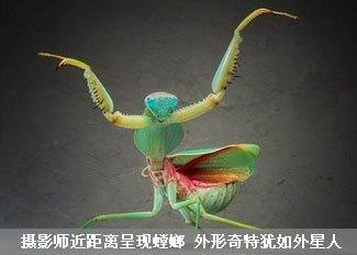螳螂外形奇特犹如外星人
