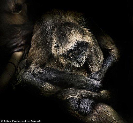 摄影师拍摄猩猩酷似人类的面部表情