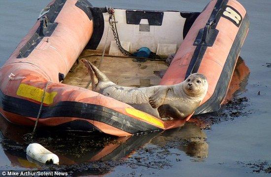 卖萌小海豹躺皮划艇享受日光浴(组图)