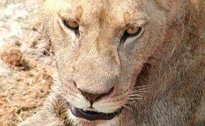 全程实拍:饿急狮群疯狂撕食水牛