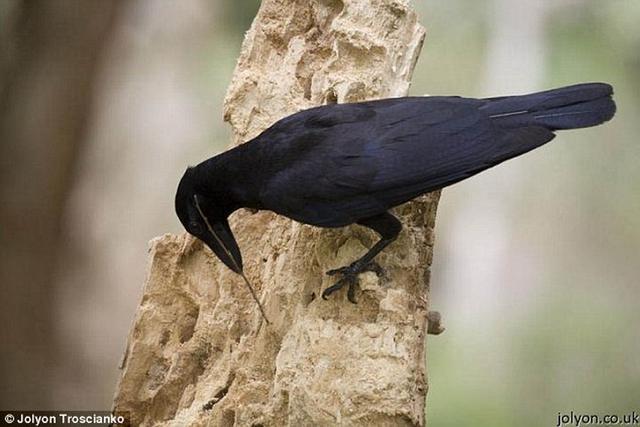 """学者发现野生乌鸦会制造和保存""""捕食工具"""""""