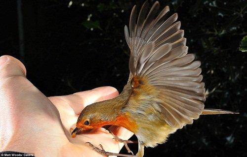 知更鸟人类手中取食 摄影师抓拍精彩画面