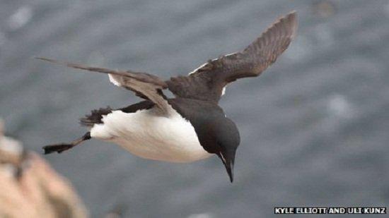 研究人员称已经揭开企鹅不能飞行的秘密