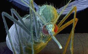 英科学家培育出基因突变蚊子