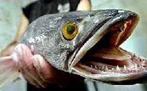 不可思议会行走的鱼