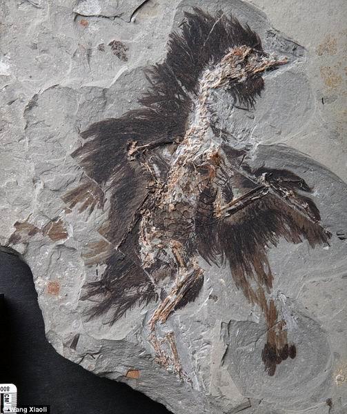 中国出土1.3亿年前羽毛化石中存在迄今最早的红色素