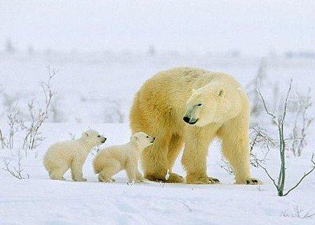 北极熊属于哺乳动物,在冰上或者陆地上捕食,成长,哺育下一代