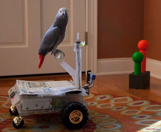 聪明灰鹦鹉学会操控玩具车来消除寂寞