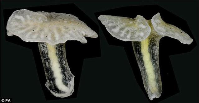 澳大利亚海底发现两种蘑菇状未知生物