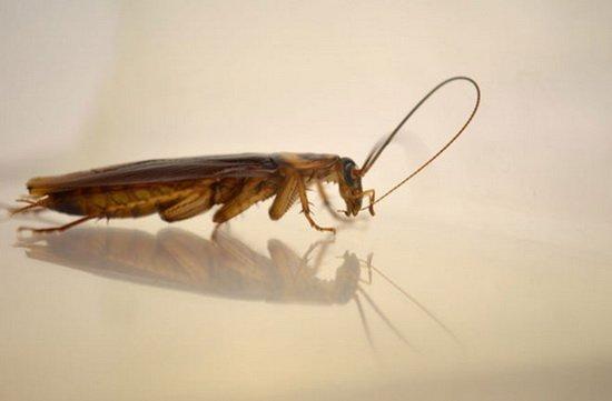 研究揭晓蟑螂清洗触须是为了提高嗅觉能力