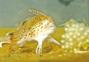 """最奇特的鱼:鱼长""""手""""用鳍走路-澳大利亚奇特怪鱼长 手 会用鳍走路图片"""